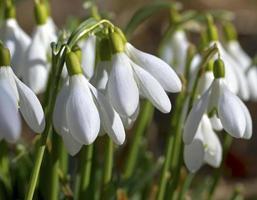 lente sneeuwklokjes. foto