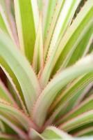 ananas bladeren foto