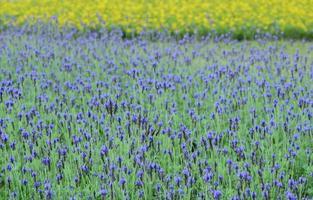 paarse salvia bloemen foto