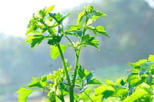 selderij in groei in de tuin