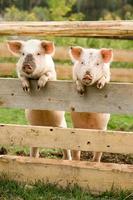 twee varkens foto