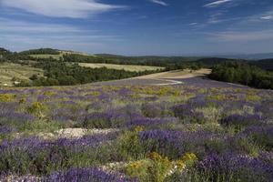 lavendel landschap foto