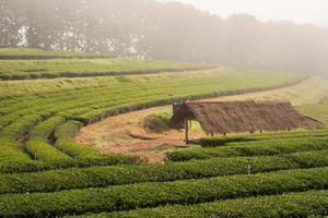 de hut in groene thee veld met ochtendmist foto