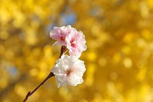 winter kersenbloesem foto