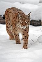 lynx in de winter foto