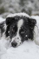 border collie in de sneeuw foto