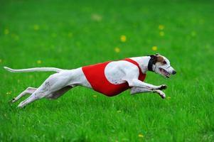 snellende windhond foto