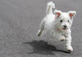 lopende puppy foto