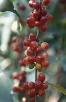 Latijns-Amerikaanse koffee foto