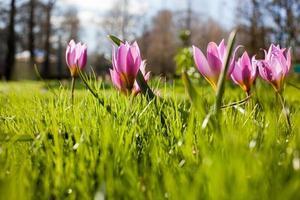 bloemen in keukenhof park, nederland, ook wel bekend als de tuin foto