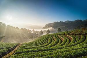 ochtendzonsopgang op aardbeigebied, chiangmai Thailand foto