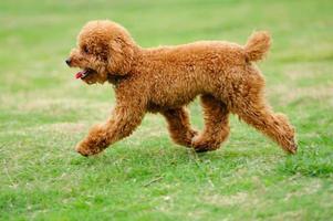 kleine speelgoed poedel hond loopt foto