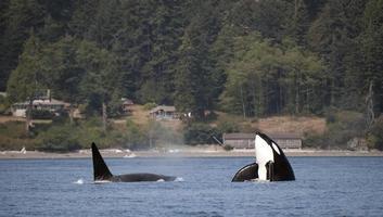 orca spy hop foto