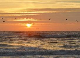 pelikanen foto