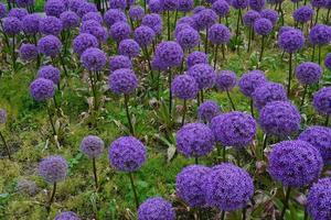 paarse alliums foto