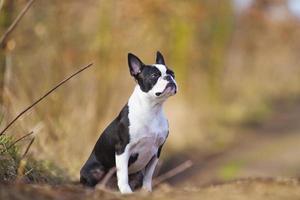 Boston Terriër hond puppy zitten in voorjaar achtergrond