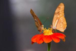 vlinders, colombia foto