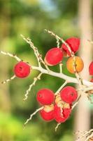 rijpe betelnoot of arecanootpalm foto