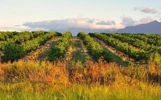 citroenboomgaard en bergachtergrond foto