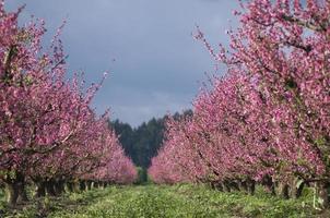 perzikboomgaard bloeit foto