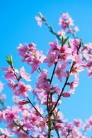 bloeiende perzik foto