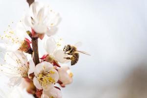 perzik bloeit met een bij foto