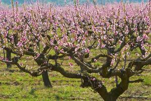 perzikboomgaard foto