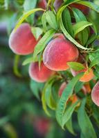 perzikboom vruchten foto