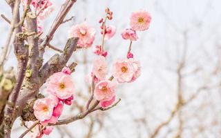 bloemen in het voorjaar serie: pruimen bloeien in het voorjaar foto