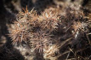 kustcholla groeit op het eiland Catalina foto