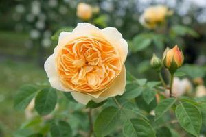 gele enkele roos foto