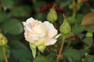 rosa 'henri salvador' - roos
