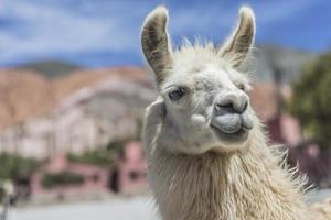 lama in purmamarca, jujuy, argentinië. foto
