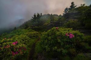 Roan Mountain Spring Rododron bloeit foto