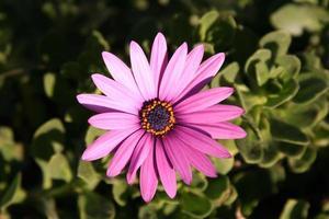 roze gazania madeliefje foto