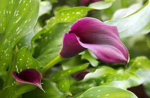 paarse calla lelie met veel bladeren