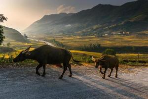 prachtig rijstterras in sapa, vietnam foto