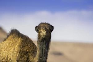 kameel die naar u staart in de Saharawoestijn foto