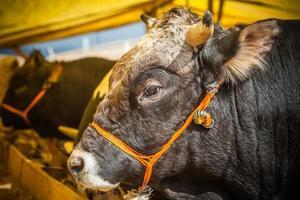 bull verkoop voor eid al-adha foto