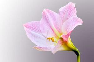 hippeastrum johnsonii bloem foto