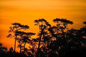 pijnboomsilhouet en zonsondergang bij het nationale park van Phu Kradueng foto