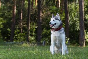 Siberische husky zit in de schaduw. foto
