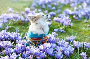 chihuahua hond droomt tussen paarse krokus bloemen foto