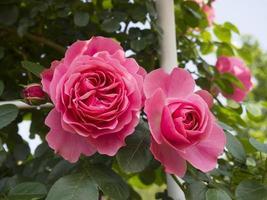 bloeiende roze roos. foto