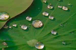 druppels water op een lotusblad foto