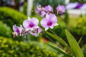 roze orchidee met toppen foto