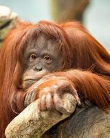 vrouwelijke orang-oetan foto