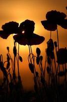 klaprozen bij zonsondergang