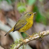 vrouwelijke golden bush robin foto