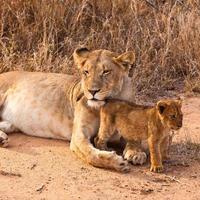 vrouwelijke leeuw lopen door het gras foto